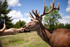 Los niños están alimentando los ciervos Imagen de archivo libre de regalías