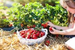 Los ni?os escogen la fresa en campo de la baya en verano foto de archivo libre de regalías