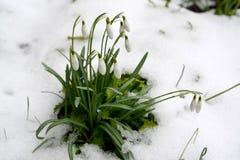 Los nivalis blancos como la nieve florecientes L de Galanthus del snowdrop Entre nieve fotos de archivo