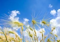 Los oídos de la cebada molieron la visión contra el cielo azul Fotografía de archivo