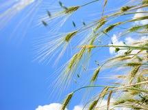 Los oídos de la cebada molieron la visión contra el cielo azul Imagenes de archivo