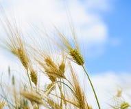 Los oídos de la cebada molieron la visión contra el cielo azul Fotografía de archivo libre de regalías