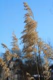 Los oídos de la mala hierba en un fondo del cielo azul Fotos de archivo
