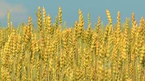 Los oídos del trigo se sacuden en el viento del verano debajo de un cielo azul almacen de metraje de vídeo