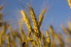 Los oídos maduros amarillos del trigo en un primer colocan Fotos de archivo libres de regalías