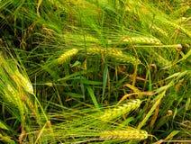 Los oídos maduros del trigo en el primer del campo imagen de archivo libre de regalías