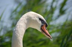 A los ojos de el cisne Fotos de archivo libres de regalías
