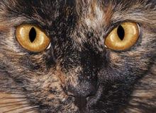 Los ojos de gato Fotografía de archivo libre de regalías