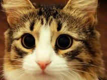 Los ojos de gato enfocado Imagen de archivo libre de regalías