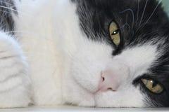 los ojos de gato verdes se cierran para arriba imágenes de archivo libres de regalías
