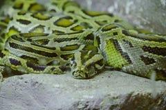 Los ojos de Python miraron fijamente algo imágenes de archivo libres de regalías