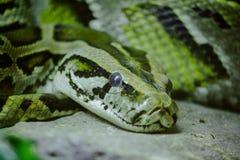 Los ojos de Python miraron fijamente algo imagenes de archivo