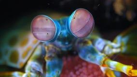 Los ojos del camarón de predicador del pavo real se mueven rápidamente