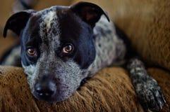Los ojos del perrito cuentan la historia Foto de archivo libre de regalías