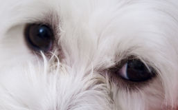 Los ojos del perro Foto de archivo libre de regalías