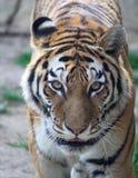 Los ojos del tigre Imágenes de archivo libres de regalías