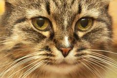 Los ojos mancharon el gato Fotos de archivo libres de regalías