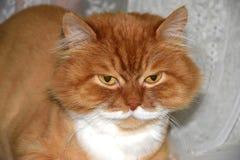 Los ojos melancólicos del ` s del gato se cierran para arriba Imagenes de archivo