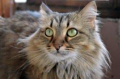 Los ojos verdes siberianos de la bestia peluda nacional felina animal de la casa del gato crían la atención del ensueño de la com Foto de archivo