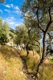 Los olivos en la trayectoria en Amalfi costean, Italia, cerca de Positano Imagenes de archivo