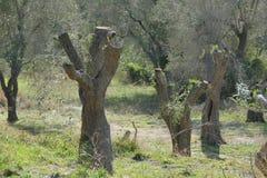 los olivos podaron debido a la enfermedad debido al xilella fotografía de archivo