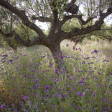 Los olivos y el cardo púrpura florece cerca de stoupa en mani en GR Imagen de archivo libre de regalías