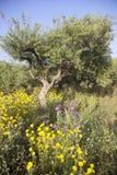 Los olivos y las flores del amarillo acercan a stoupa en mani en el pelo griego Fotos de archivo libres de regalías
