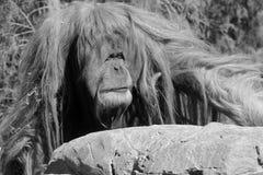 Los orangutanes Fotos de archivo libres de regalías