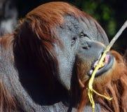 Los orangutanes Imagen de archivo libre de regalías