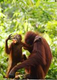 Los orangutanes salvajes Borneo del bebé y de la mamá llaman por teléfono al papel pintado foto de archivo