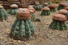 Los oreas Miqu, cactus del Melocactus crecen en arena Fotografía de archivo