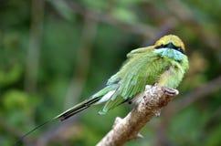 Los orientalis verdes del Merops del abeja-comedor en la rama Fotografía de archivo