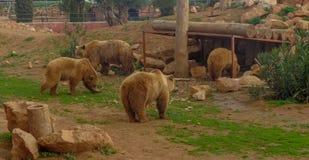 Los osos están descansando y están comiendo foto de archivo