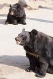Los osos Himalayan Fotografía de archivo