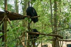 Los osos que luchan en el centro del rescate del oso liberan los osos en Kuangsi, al lado de la cascada del kuangsi, Laos foto de archivo