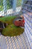 Los pájaros atrapados en las redes, Emerald Dove común Imagen de archivo libre de regalías