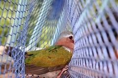 Los pájaros atrapados en las redes, Emerald Dove común Foto de archivo libre de regalías