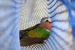 Los pájaros atrapados en las redes, Emerald Dove común Fotografía de archivo libre de regalías