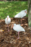 Los pájaros blancos de Ibis se están colocando en una pierna Foto de archivo