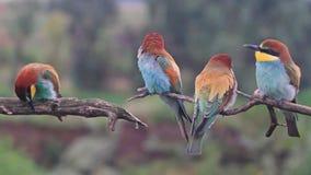 Los pájaros coloreados exóticos cantan canciones en las ramas metrajes