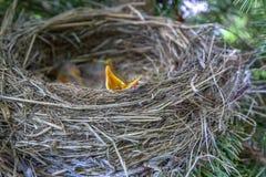 Los pájaros de bebé en jerarquía con las bocas se abren Foto de archivo