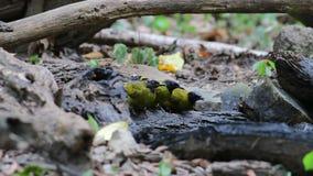 Los pájaros de cabeza negra de los atriceps de Pycnonotus del Bulbul comen el agua almacen de video