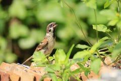 Los pájaros de la iglesia establecieron en una pila de tejas Imágenes de archivo libres de regalías