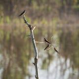Los pájaros de los swifts se están sentando en una rama seca Fotos de archivo libres de regalías