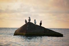 Los pájaros de mar se están sentando en una roca Fotografía de archivo libre de regalías