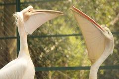 ¡Los pájaros de presentación! foto de archivo