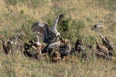 Los pájaros del buitre están comiendo su presa Foto de archivo libre de regalías