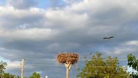 Los pájaros del gorrión, cigüeñas jerarquizan y los pájaros del gorrión que jerarquizan alrededor de la jerarquía de la cigüeña, almacen de metraje de vídeo