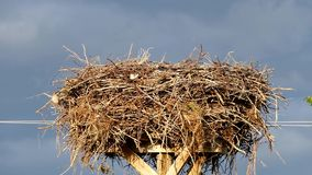 Los pájaros del gorrión, cigüeñas jerarquizan y los pájaros del gorrión que jerarquizan alrededor de la jerarquía de la cigüeña,  metrajes