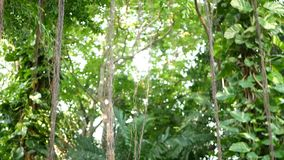 Los pájaros del helecho jerarquizan en banyan Los pájaros brillantes del helecho jerarquizan con las hojas verdes grandes que cre metrajes